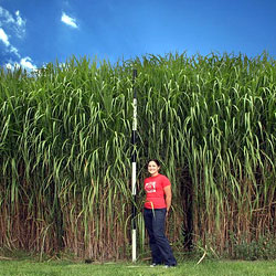 Miscanthus - a large perennial grass with potential for use in energy production
