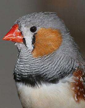 The study found that the youngest members of zebra finch broods are more adventurous than their older siblings in adult life