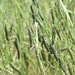 *** ARMYWORM SEASON 2012-2013 CLOSES ***