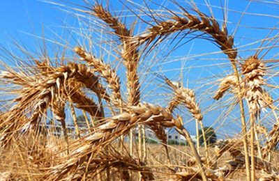 Wheat from the ChaffWheat research