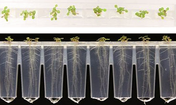 A row of plant seedlings in the microphenotron device
