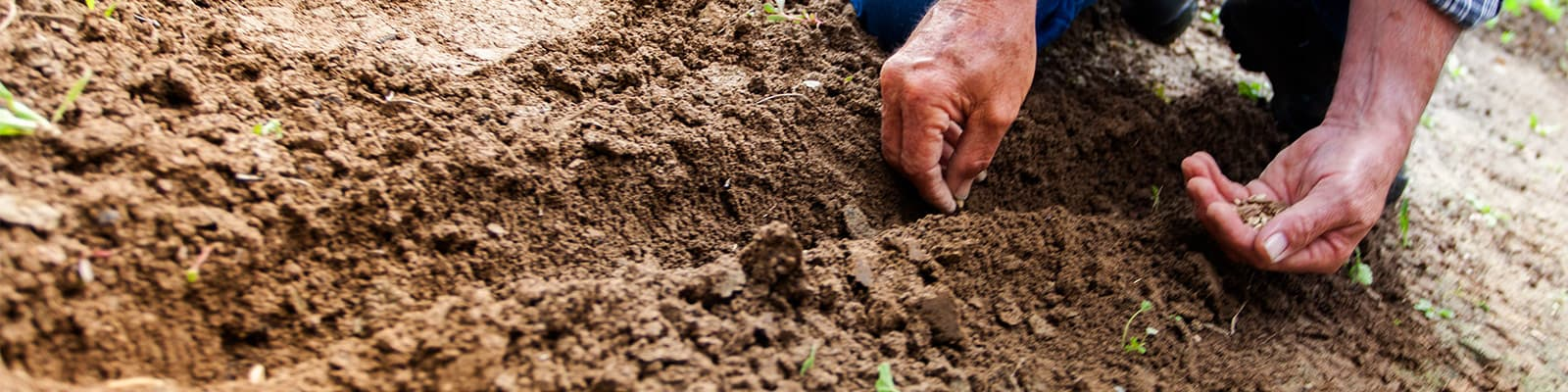 Seeds are planted into soil by hand