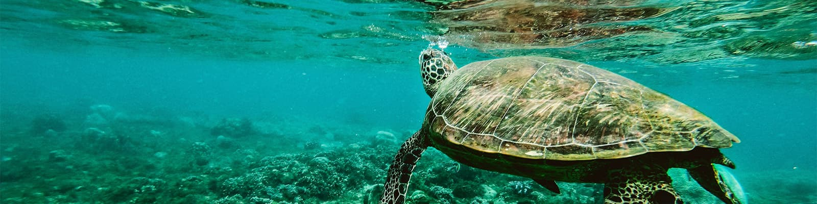 A turtle swims over a reef