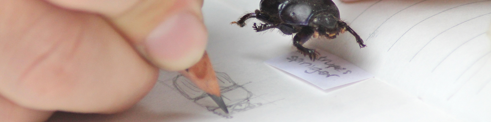 Pencil drawing of beetle