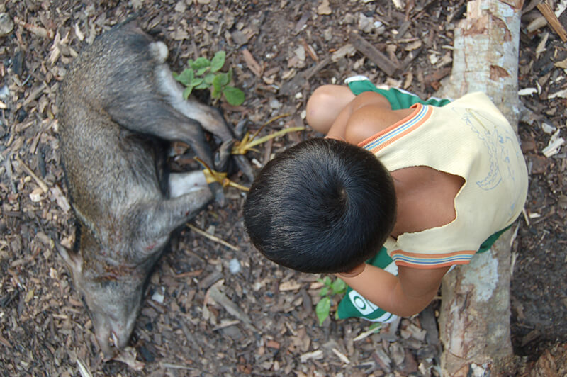 Bruno considers the collard peccary (Pecari tajucu) brought back by his uncle from a hunting trip, Arapiuns River, Brazil. In this reserve small-scale hunting for household consumption is legal, while hunting with dogs or for sale is illegal. Credit: Rachel Carmenta