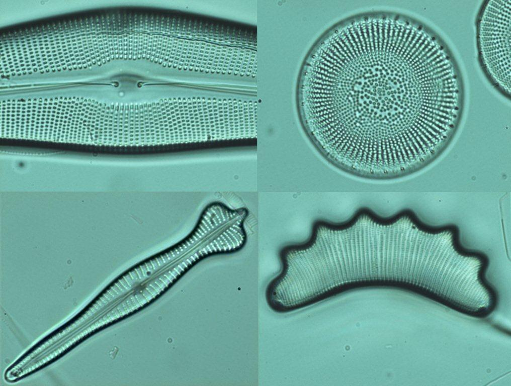 Highly ornamented silica cell walls of four freshwater diatom species (magnified x1000)by Megan Webb and Maria Snell, who are undertaking PhD research into water quality.