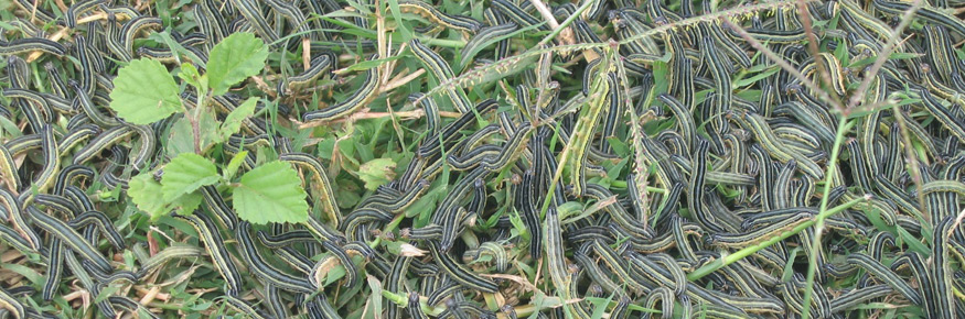 An outbreak of armyworms in Tanzania; courtesy of Wilfred Mushobozi