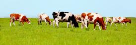 cows grazing for Nature research