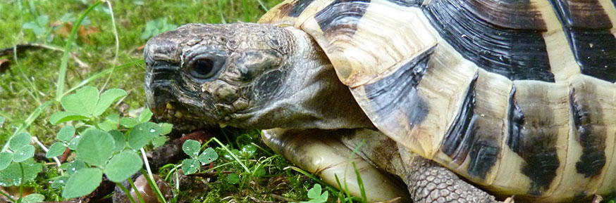 Testudo hermanni (Hermann's Tortoise) – the trading of tortoises as pets has contributed to the spread of infectious diseases. Provided by the University of Liège.