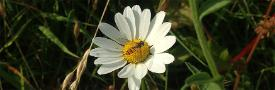 An image of a hoverfly on a daisy, first used to illustrate a blog piece on bees and pollen by Philip Donkersley