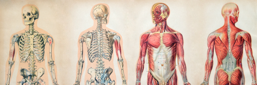 A vintage anatomical chart